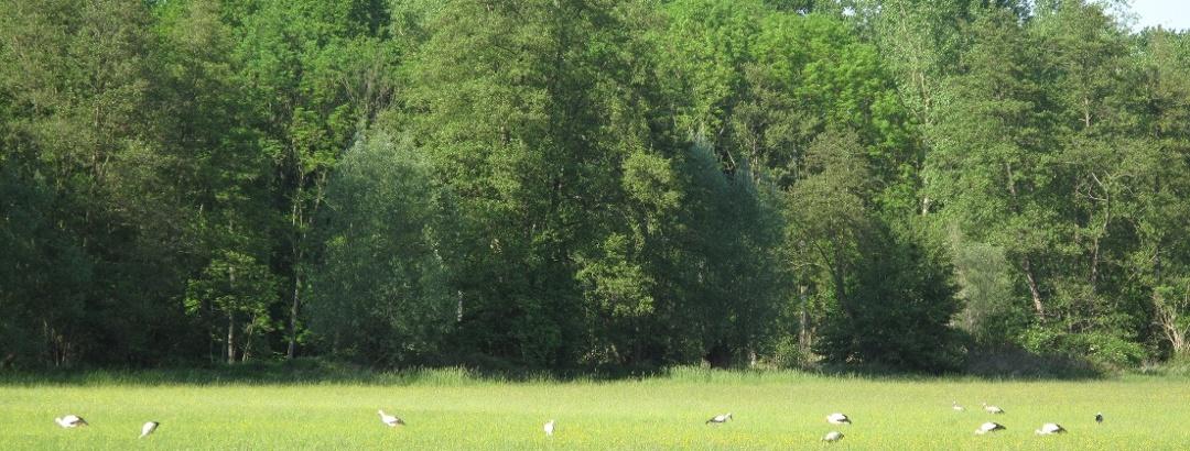 Störche auf Futtersuche in den Queichwiesen bei Bellheim