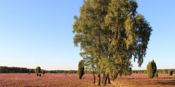 Birken in der Oberoher Heide