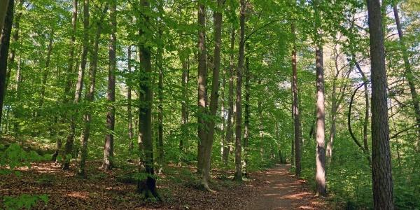 Durch den Mischwald am Galgenberg