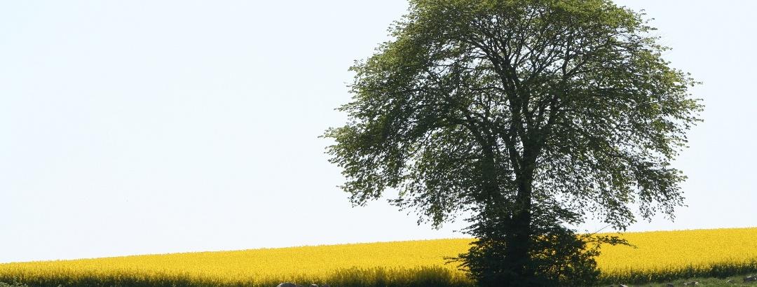 träd_rapsfält