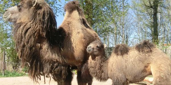 Tiergarten Falkenstein Freigehege Kamele