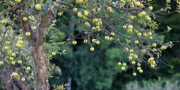 Alte Apfelsorte auf einer Streuobstwiese