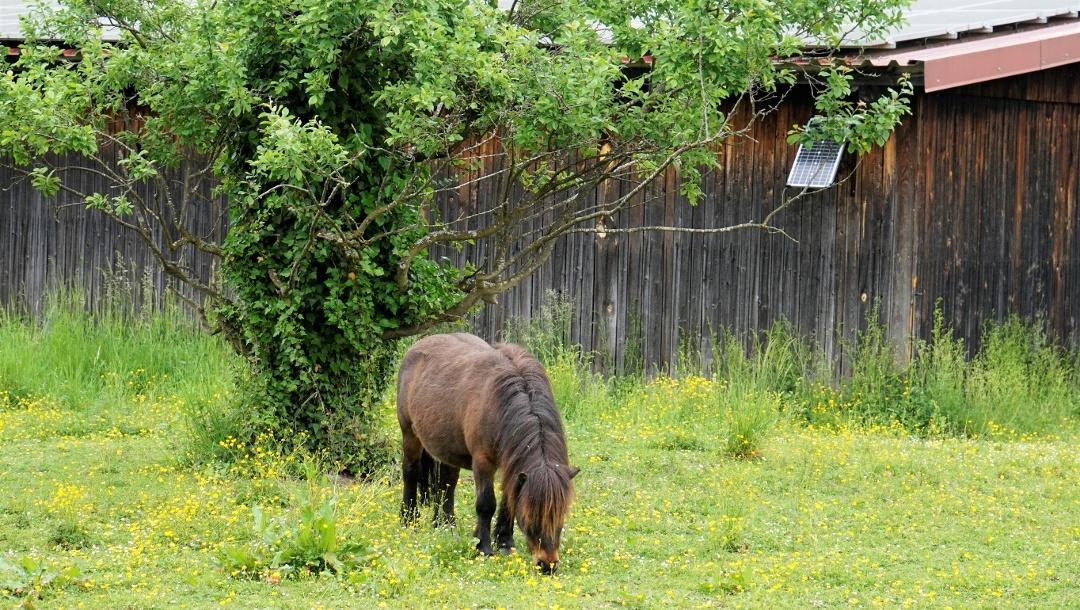 Grasendes Pony bei Gebhardsweiler