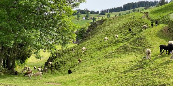 Schafweide zwischen Rothenthurm und Neusell.