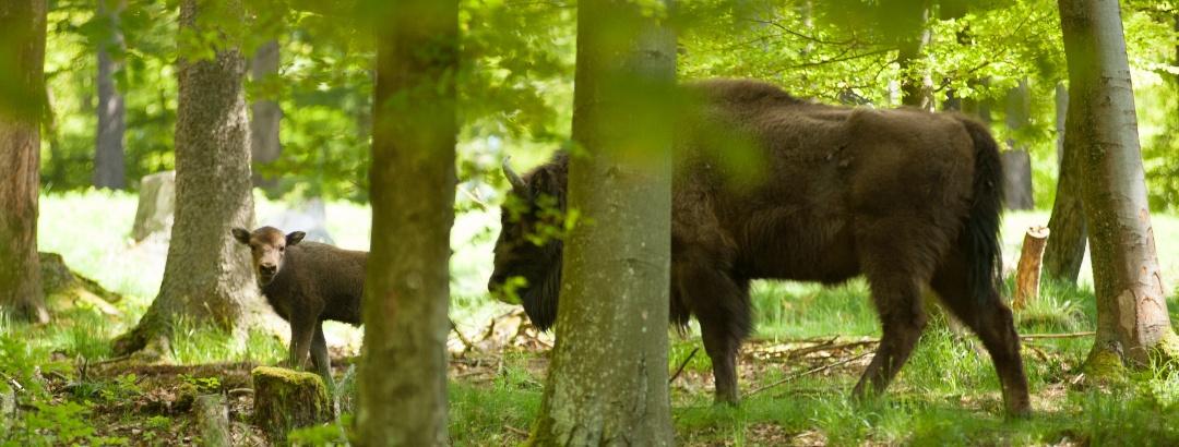 Wisente im Wald
