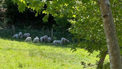 Weide mit Schafen