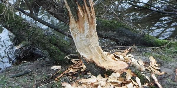 traces de présence de castor sur l'île du Rhin