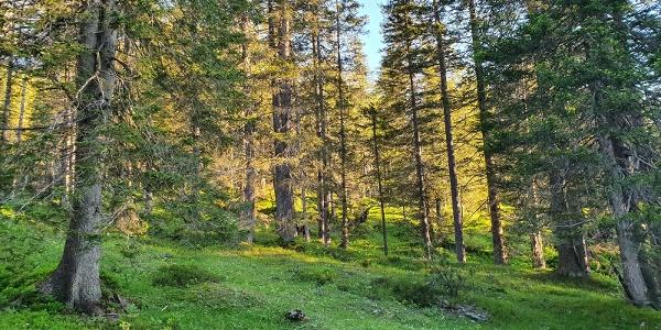 Wald unterhalb der Galinaalpe