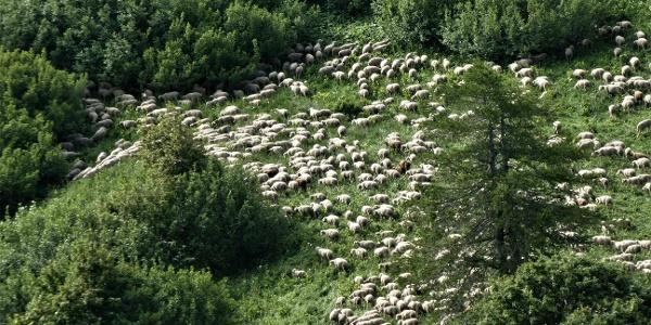 Schafherden auf der anderen Seite der Passstraße