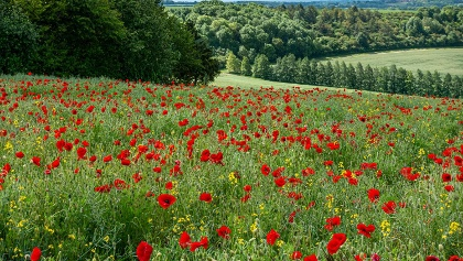 Poppy fields along the way