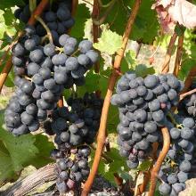 Rotweinreben bei der Winzeralm