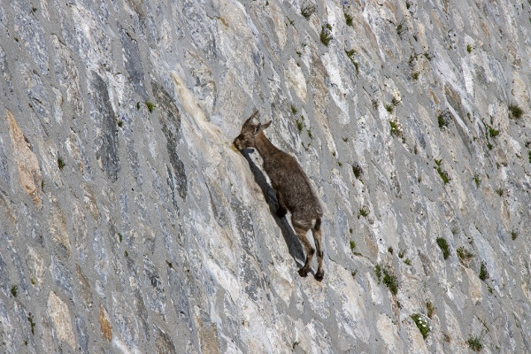 Ibex in Valle Antrona