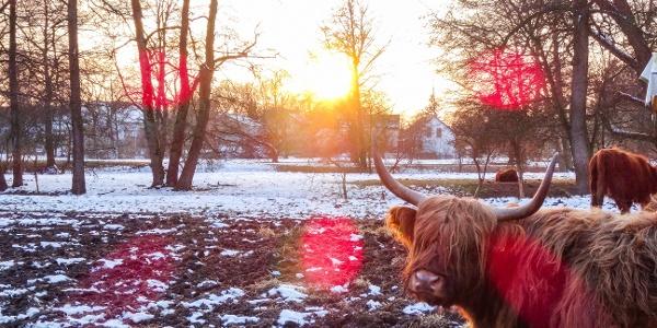 Glücklich grasende Rinder im Winter bei Bad Gögging