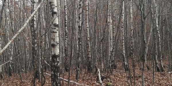 Eher selten: ein ganzer Wald mit Birken
