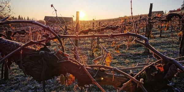 Sonnenaufgang im Weingarten