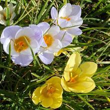 Auch abseits der Krokuswiesen finden sich die ersten Blüten