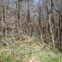 A tavaszi normafa
