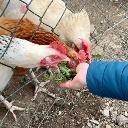 Auch Hühner mögen frischen Löwenzahn im Frühling.