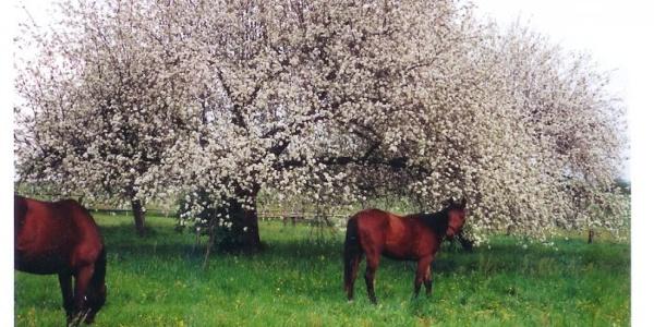Pferd unter Apfelbaum