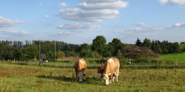 Kühe bei Weuspert