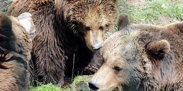 Bären im Bärenpark