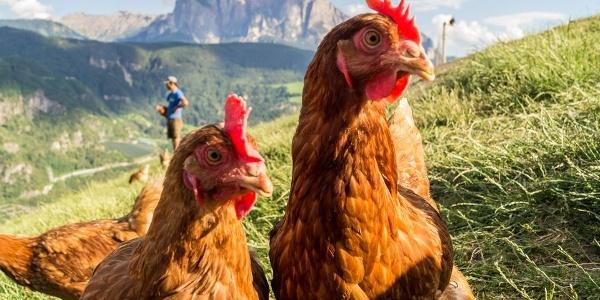 Am Pennhof in Barbian leben die Hühner in einem neuen Hühnerstall unter perfekten Bedingungen.