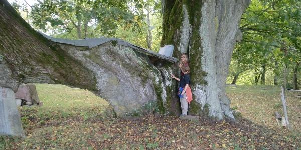 Hoflinde|Naturdenkmal am Allenpacher Hof