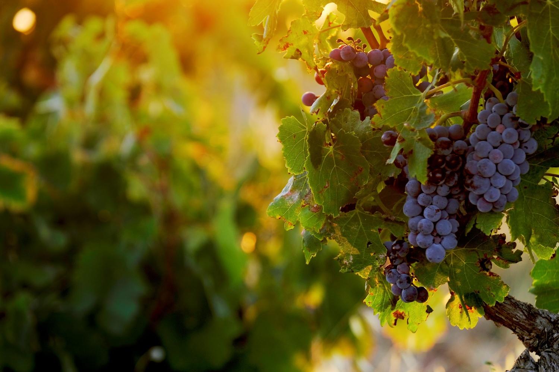 Raisins du côté de Châteauneuf du Pape dans le Vaucluse