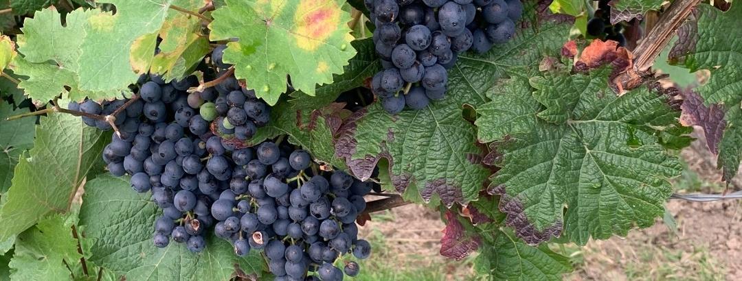 Rheinhessen Wein