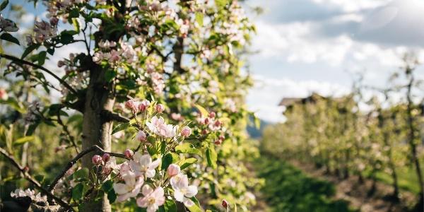 Fioritura delle mele all'escursione da Tirolo a Schenna