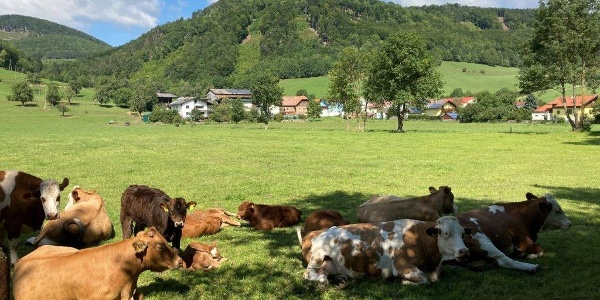 Promenadenweg Kühe und Berge