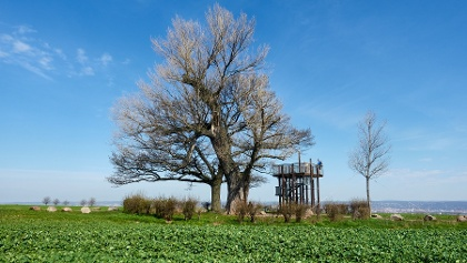 Die Babisnauer Pappel ist äter als 200 Jahre, 17 m hoch, hat einen Umfang  von 5 m und ist ein beliebtes Ausflugziel.