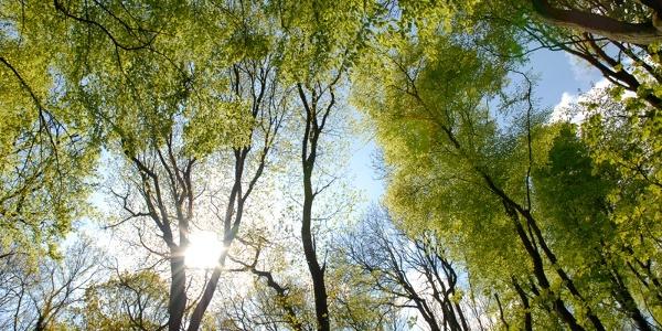 Frühlingshafte Buchen im Aachener Wald