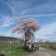 Mandelblüte an der Weinstrasse