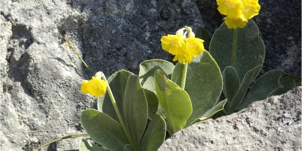 Felsaurikel auf den Gipfelfelsen der Käserwand im Mai