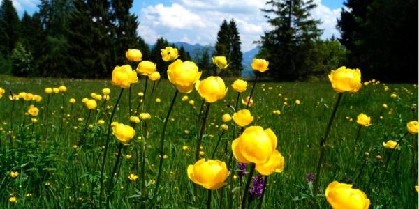 Herrliche Bergwiesen - die Trollblume steht unter Naturschutz