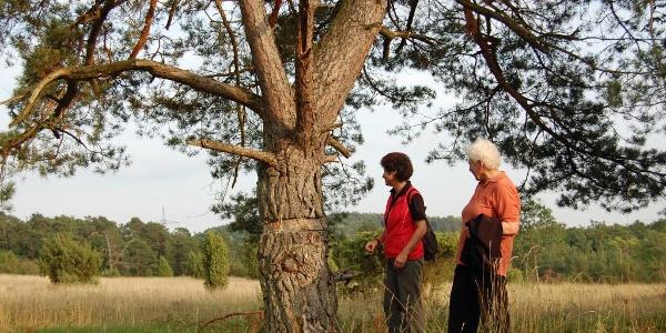 Durch die Hardheimer Wacholderheiden – Unterwegs in einem sagenhaften Naturschutzgebiet