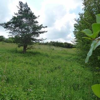 Magerwiese im NSG Mutzenhorn / Steinriegellandschaft an der Pfitzinger Straße, die von der OG Weikersheim  gepflegt wird