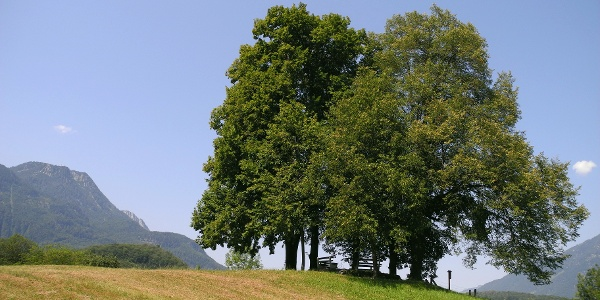 "Das Naturdenkmal ""Baumgruppe am Sterzens Abendsitz"""