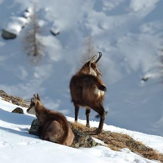 Les chamois se croisent même en hiver
