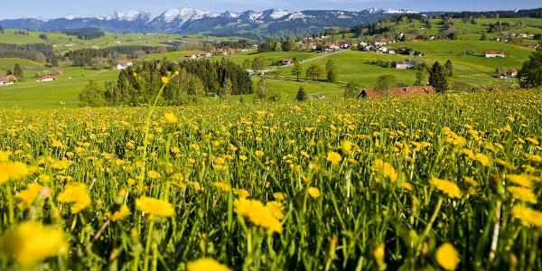 Löwenzahnwiese mit Bergblick