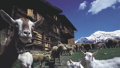 Lenzerheide, Maiensäss mit Ziegen
