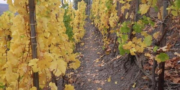 Path through the vineyards between Beilstein and Bruttig-Fankel