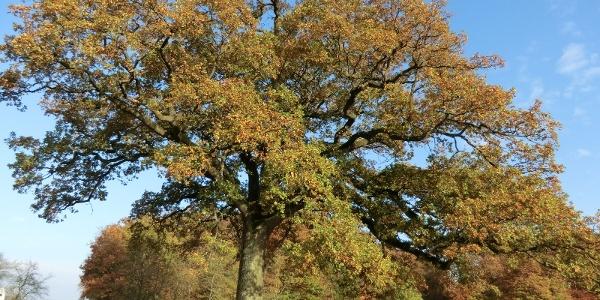 Large oak tree as you approach Valwigerberg