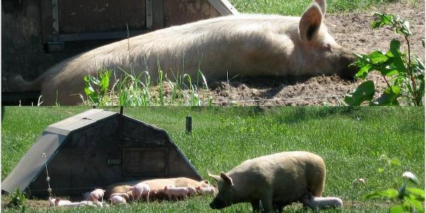 Bio-Schweine Hof Daudieck