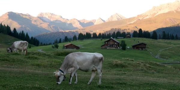 Kühe bei Arosa
