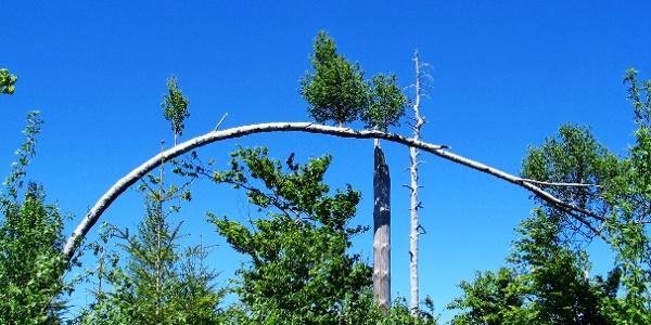 """""""Bogen-Birke"""" im Bannwald"""