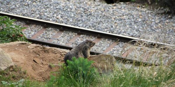 Murmeltiere sind unterwegs immer wieder anzutreffen